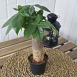 일년에 아홉번 꽃피우는 쿠페아 구페아 공기정화식물 키우기 쉬운 식물