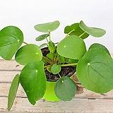 필레아페페 실내식물|