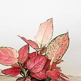 에쁜칼라 지리홍 실내식물 공기정화식물|