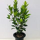 월계수나무 (식용가능 동일품배송 )