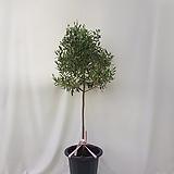올리브나무 아르베키나 전체 170센치, 식물 130센치 내외 