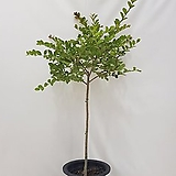 베롱나무 외목대 목백일홍 전체 120센치 내외, 식물만 100센치 내외 