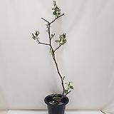 켐벨/포도나무 전체 133센치 내외,포트제외 식물 높이만 117센치 내외 