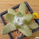 Dudleya pachyphytum