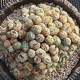 코노피튬왕대품|Conophytum
