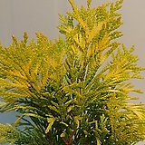 포에버골드 편백나무