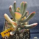 원종방울복랑금 배송중잎장 떨어질수있음|Cotyledon orbiculata cv variegated