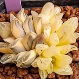 타이거Haworthia pygmaea錦(TigerPygmaea錦)-04-29-No.4535