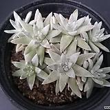 화이트그리니-021|Dudleya White greenii