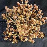 선동창대품(분채배송)|Aeonium spathulatum