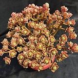선동창(분채배송)|Aeonium spathulatum