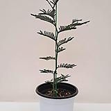 [신품종]청자귀나무 