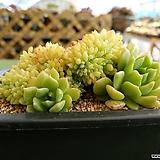 라밀라떼 철화 Echeveria Lamillette  f cristata