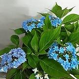 환엽스프레드마리아(연꽃)