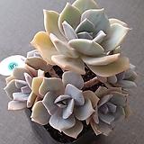 짚시 variegated|Graptoveria Mrs. Richards