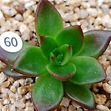 메릴그림(주성)60