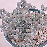 Graptopetalum Mirinae