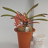 체리블로섬 주황색꽃 1번|