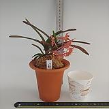체리블로섬 주황색꽃 2번|
