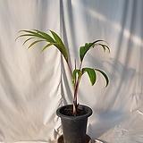 주병야자입니다  전체 70센치내외, 식물만 55센치 내외 