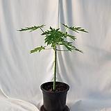 파파야나무입니다  전체 60센치내외, 식물만 45센치 내외 