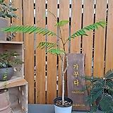 [수입식물]아카시아 펜나타/피나타 