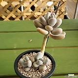 홍미인(유럽미인) Pachyphytum ovefeum cv. momobijin