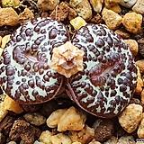 Conophytum obcordellum 大黑点 대흑점
