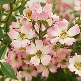 [진아플라워]  봄마다 탐다던 핑크 찔레나무 340 