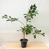 [진아플라워] 귀한대접 받는 꾸지뽕 나무 290 