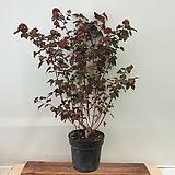 [진아플라워] 우아한 정원수 자엽 국수나무 대형 690 