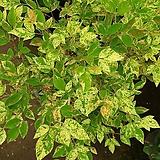 [진아플라워] 보라색 꽃피는 무늬 싸리나무 230 