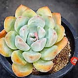 수련먼로83|Echeveria Suryeon