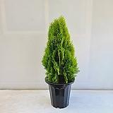황금측백나무/공기정화식물/반려식물/온누리 꽃농원|