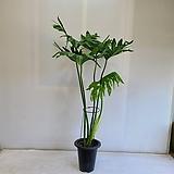 호프셀렘 대형/공기정화식물/반려식물/온누리 꽃농원|