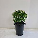 피어리스/공기정화식물/반려식물/온누리 꽃농원|Echeveria Fiona