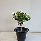 좀백일홍/공기정화식물/반려식물/온누리 꽃농원|