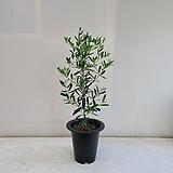 올리브나무/공기정화식물/반려식물/온누리 꽃농원|
