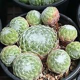 거미줄바위솔 랜덤발송|Sempervivum arachnoideum tomentosum