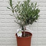 ♥올리브나무 ♥스페인 아르베키나 ♥동일품배송