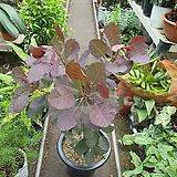 자엽안개나무 월동가능|