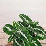 고급스런 벨벳느낌 싱고니움 신고니움 싱고늄 실내식물 공기정화식물 음지식물 수경재배|