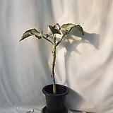 멋지게 묵은 선녀무     전체 74센치 내외, 포트 제외 식물 높이만 61센치 내외 Titanopsis calcarea