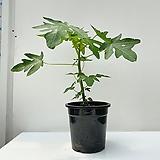 파파야나무 
