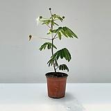 백자귀나무 