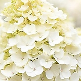 유럽최신품종 네덜란드 수국 리빙 리틀블로썸(Little Blossom)|Hydrangea macrophylla