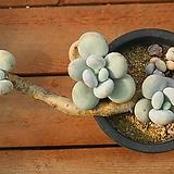 오비포럼 13|Pachyphytum oviferum