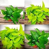 풍성함에 반하실거에요 스킨 형광스킨 마블스킨 스킨답서스 공기정화식물 실내식물 음지식물 수경재배 넝쿨식물|