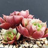 롱기시마 군생|Echeveria longissima