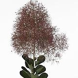조경수자엽안개나무매지컬토치